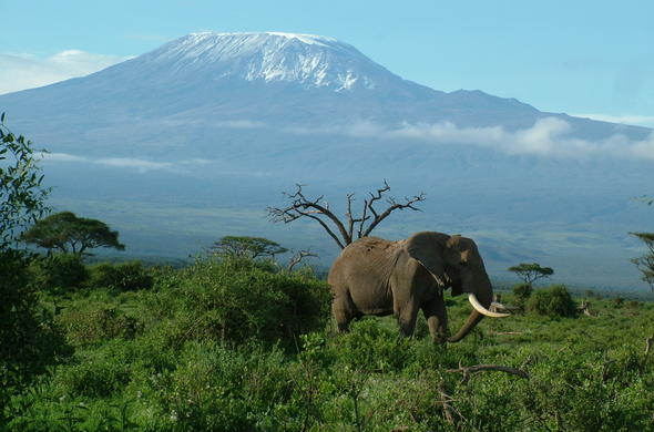 Elephant in Amboseli, Kenya with Mt Kilimanjaro in background.