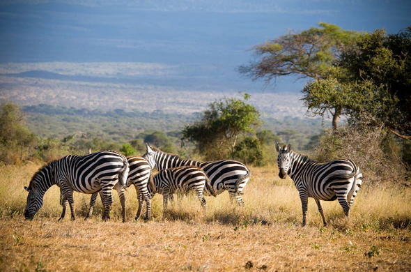 A dazzle of zebra in the Amboseli National Park.