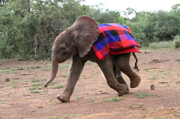 Orphaned elephant cared for at the David Sheldrick Trust.