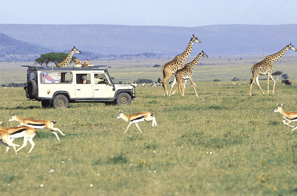 See Giraffe on your Masai Mara safari in Kenya.
