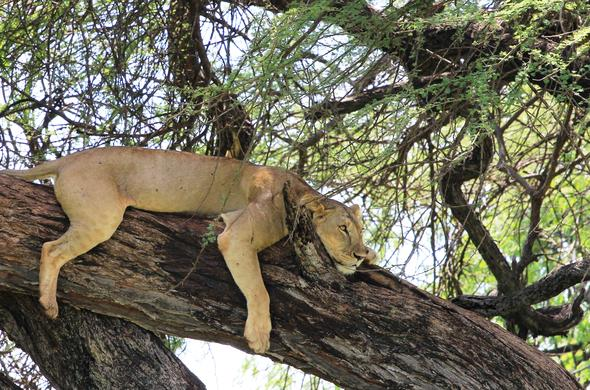 Lions in a tree in Meru National Park.