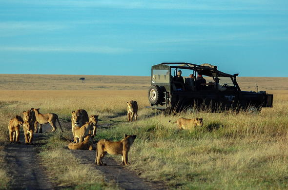 Spotting a pride of lions during a game drive in the Masai Mara.
