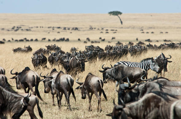 The Great Migration wildlife in Masai Mara.