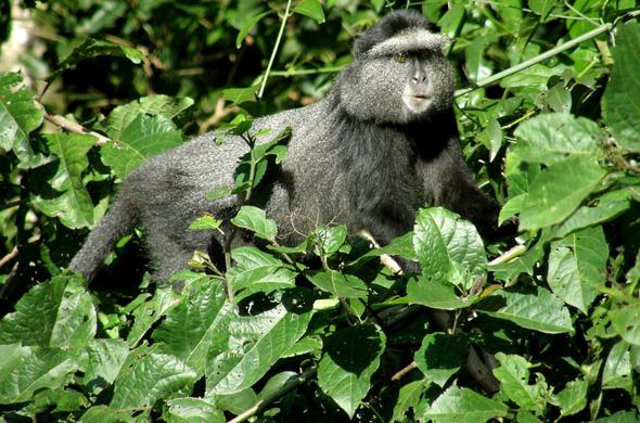 Monkey in Kakamega Forest Reserve.