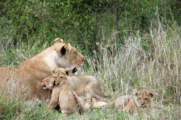 Lioness with her young cubs in the Masai Mara.