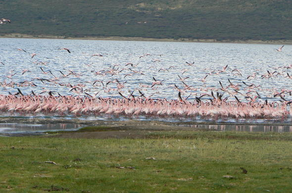 Flamingos on Lake Bogoria in Kenya.