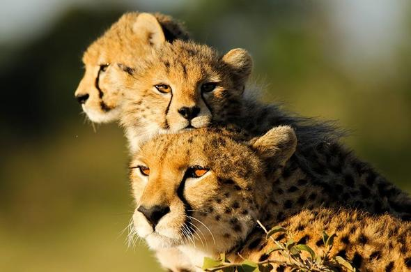 See Cheetah on your Kenya safari tour.