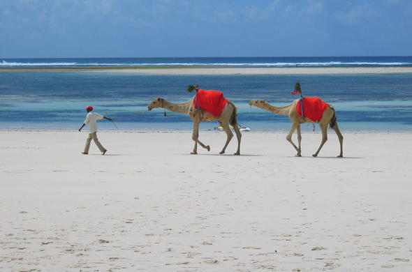 Camels on Mombasa Beach, Swahili Coast, Kenya.