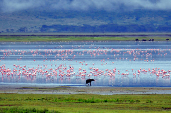 hyena and flamingos