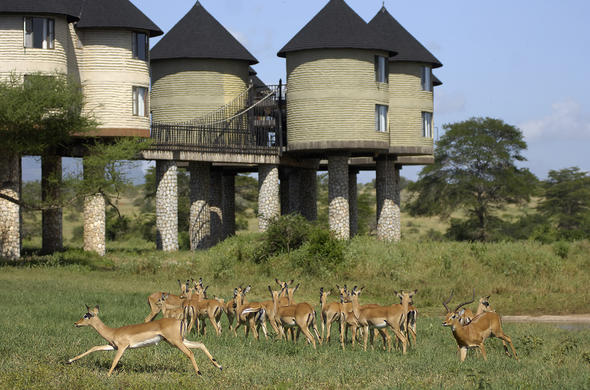 Impala wandering around Sarova Salt Lick Game Lodge.